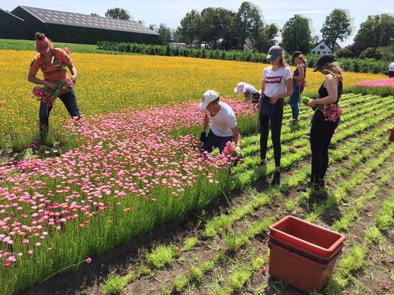 Harvesting dried flowers